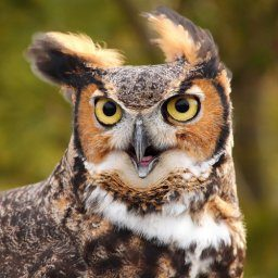 FUNNY GREAT HORNED OWL