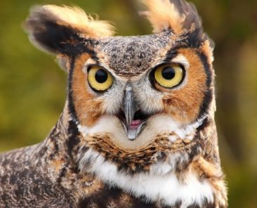 funny-great-horned-owl